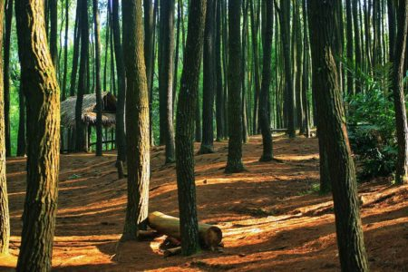 wisata hutan pinus mangunan jogja